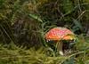 Amanita Muscaria (vale2174) Tags: rosso amanita fungo favola phalloides velenoso