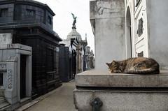 Gato en el cementerio (celesblur) Tags: cats argentina nikon cementerio gatos recoleta cementery d5100
