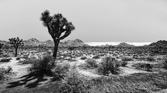 Scorching Barren Yet Splendid Joshua Tree National Park (Thank you, my friends, Adam!) Tags: park bw white black tree mono joshua wideangle national barren splendid  scorching     world100f