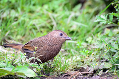 "Himalayan Babbler (Paul Nicodemus) Tags: travel people mountains rain clouds landscapes skies azure adventure journey solo odyssey assam himalayas valleys unplanned tawang natives bomdila tezpur ""westbengal"" ""arunachalpradesh"" ""bumlapass"" ""selapass"" ""paulartography"" ""paulnicodemus"
