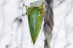 Treehopper tbd (Finatic 's iNaturalist Stream) Tags: treehoppers