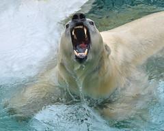 Great Catch (Mondmann) Tags: wet water japan mouth mammal zoo tokyo asia ueno wildlife teeth meat catch wildanimal openmouth rawmeat eastasia uenozoo greatcatch mondmann nikond7100