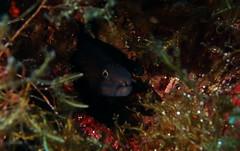 Moray Eel, Lantern Point, Comino (yayapapaya77) Tags: fish underwater diving malta fisch moray mediterraneansea morayeel comino tauchen unterwasser mittelmeer murne lanternpoint canonpowershotg15