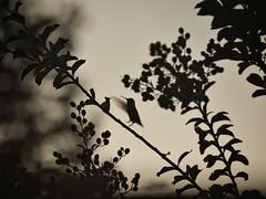 Landing for the night (rahina) Tags: california sunset bird silhouette contrast hummingbird birdinflight nikond600 tokinaatxsd70200f4vcms tokina702004