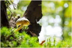 Paddestoel (7D032313) (Hetwie) Tags: autumn tree fall mushroom mos bomen forrest herfst nederland toadstool bos paddestoel gelderland drie speulderbos spielderbos