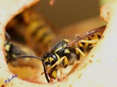 Wespe (fotoandy69) Tags: natur gelb makro wald insekt apfel biene wespe scharfe