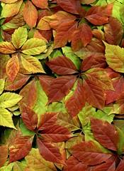 56949.01 Parthenocissus quinquefolia (horticultural art) Tags: leaves pattern virginiacreeper parthenocissus parthenocissusquinquefolia horticulturalart