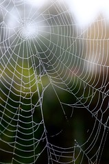 Scene of the crime (davidheath01) Tags: green colour color nikond5100 nikon soe nature london garden spider web depthoffield dof