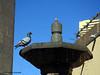 Thirsty Pigeon - 12/365 (Neeku) Tags: bird nature water fountain birds pond pigeon drinking thirst thirsty فواره پرنده آب کبوتر pidgin حوض تشنه کفتر حوضچه neekushamekhi نیکوشامخی