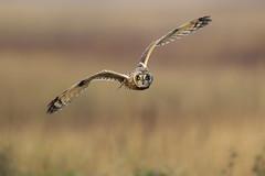 Short-eared Owl (Andy Davis Photography) Tags: canon flying eyes flight raptor owl birdofprey shortearedowl asioflammeus explored distinguishedpictures distinguishedbirds