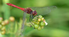 Blutrote Heidelibelle, Sympetrum sanguineum (staretschek) Tags: sympetrumsanguineum blutroteheidelibelle segellibelle rotelibelle groslibelle