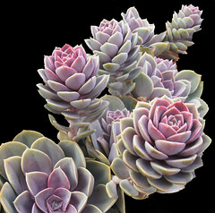 Hens and Chicks by My Lovely Wife (Puzzler4879) Tags: plants powershot pointandshoot botanicalgardens succulents sempervivum hensandchicks newyorkbotanicalgarden canonaseries canonphotography canonpointandshoot a580 canona580 canonpowershota580 powershota580