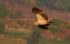 Tawny eagle (Zahoor-Salmi) Tags: camera pakistan macro nature birds animals canon lens photo tv google flickr natural action wildlife watch bbc punjab wwf salmi walpapers chanals discovry beutty bhalwal zahoorsalmi