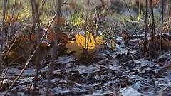 2015-12-11_06-04-26 (wiktor_furmaniak) Tags: autumn light leaf minolta colorfull sony sunnyday natureshots artisticshot passionphotography naturecomposition absolutelyperrrfect alpha65