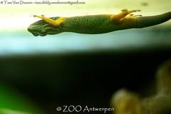 Azuurblauwe daggekko - Lygodactylus williamsi - Turquoise Dwarf Gecko (MrTDiddy) Tags: zoo blauw dwarf reptile turquoise gecko antwerp dag blauwe antwerpen zooantwerpen gekko reptillian williamsi retiel lygodactylus azuur daggekko azuurblauwe