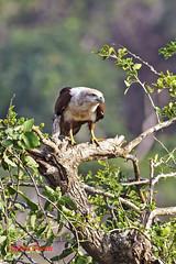 Ready for the off (Colin Pacitti) Tags: brahminykite haliasturindus kite raptor birdofprey wildbird bird animal outdoor yala srilanka fantasticwildlife birdperfect eiap coth