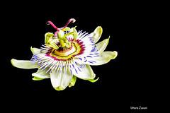 passiflora5.jpg (vittto) Tags: macro sfondonero passiflora flore