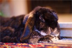 Sleeping Bun (Mike Woolley) Tags: beano bunny pentax rabbit summer