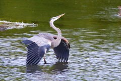 Great Blue Heron in threatening mod (Daniel Taieb) Tags: great blue heron threatening