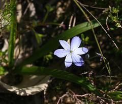 Blue Squill (philipbouchard) Tags: chamaescillacorymbosa bluesquill bluestars asparagaceae flower wildflower blue purple bridgetown westernaustralia australia