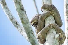 2/2 Three-toed Sloth.. Paresseux  gorge brune Manu Peru (geolis06) Tags: geolis06 prou peru per amriquedusud southamerica manu amazonie amazonia rainforest jungle fort forest madrededios biospherereserve parcnationaldeman mannationalpark 2016 patrimoinemondial unesco unescoworldheritage unescosite pantiacollatour nikon nikond7200 sigma sigma150600mmf563dgoshsmcontemporary paresseuxgorgebrune threetoedsloth bradypusvariegatus paresseux