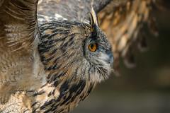 Uhu (Matt H. Imaging) Tags: matthimaging owl bubo bird eagleowl uhu oehoe animal fauna zoo gangelt wildpark sony slt sonyalpha slta77ii minolta minoltaaf70210mmf4 minolta70210f4 beercan