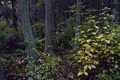 Purple on Green (brucetopher) Tags: cedar swamp woods wood tree trees deep forest darkness thick fall autumn leaves forestfloor puprle moss lichen growth grow dark dim saveearth
