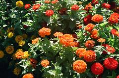 1609_YashE35GT_018.jpg (OldChE) Tags: activity cantigny coloryashinondx45f17 film flowers kodakgold200 museums places yashicaelectro35gt