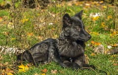 Wolf, the pup (Mala Gosia) Tags: kajtek malagosia oct142016 haliburtonforest nearalgonquinpp ontario canada outdoor lake trees bush leaves colours canoneos6d wolf wolves wolfpack animal