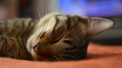GOLIAT DESCANZANDO (karlos_radikal) Tags: gatos mininos felinos mascotas animales