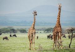 Masai giraffes (Marek Stefunko) Tags: nationalpark giraffatippelskirchi giraffe tanzania serengeti wildlife africa masaigiraffe