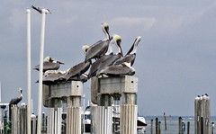 Pelecanus occidentalis (brown pelicans) (Captiva Island, Florida, USA) (James St. John) Tags: pelecanus occidentalis brown pelican pelicans bird birds captiva island florida