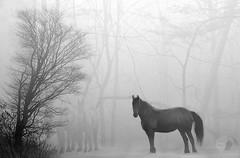 Horses in the mist (firstlookimages.ca) Tags: animals horses art artistic artisticmanipulation nature natureportrait fog forest mist bw blackandwhite blackwhite digitalmanipulation digitalart detail digitalphotography hss