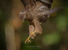Claws!!!! (fire111) Tags: claws buzzard buizerd aanval kwauwen bird prey birding wild