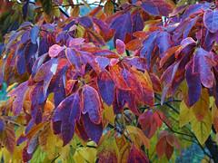 Der Herbst in seinen schnsten Farben (ingrid eulenfan) Tags: flickrfriday herbst autumn laub bltter blatt laubblatt autumnleaves herbstbltter baum pflanze