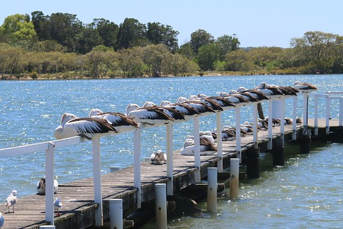 Yamba pelicans on a windy day IMG_1837
