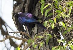 Birding along the Mara River (JoCo Knoop) Tags: tanzania serengeti marariver