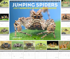 Jumping Spiders: A 2017 Calendar with the Most Endearing Arachnids (nickybay) Tags: salticidae jumping spider macro calendar 2017