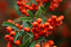 Sorbus aucuparia (mkk707) Tags: nikonultronstyle nikond100 sony ccd icx413aq bokeh voigtlnderultron40mmf2sliiasph closeuplens macro closeup