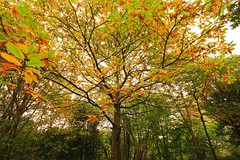 Sweet Chestnut (GerryF-Brizzle) Tags: blaiseestate blaise bristol autumn fall uk