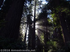 Sunlight through the Redwoods4 (Anne's Travels) Tags: redwoodnationalpark redwoods ladybirdjohnsongrove california