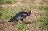 simpatico (stefanorasicaldogno) Tags: oasi dei quadris fagagna ibis eremita imprintato