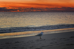A little stroll along the shore (Wajahat Mahmood) Tags: australia fremantle perth westernaustralia sunset dusk nikond810 bird seagull gull southbeach