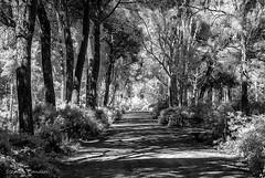 Pine Forest Walk (Light+Shade [spcandler.zenfolio.com]) Tags: ©stephencandlerphotography spcandler stephencandlerphotography httpspcandlerzenfoliocom stephencandler spain espana andalusia andalucia lightshade europe infrared monochrome blackwhite blackandwhite forest trees track elcolorado walk