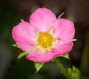 Pink Strawberry Blossom (tresed47) Tags: 2016 201610oct 201611nov 20161111longwoodflowers canon7d chestercounty content flowers folder longwoodgardens pennsylvania peterscamera petersphotos places strawberry takenby us