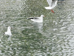 (Miranda Ruiter) Tags: amsterdam museumplein animals birds seagulls outdoor fall