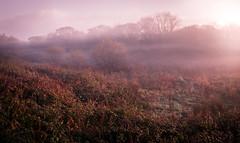 But I Would Search Everywhere (David Haughton) Tags: morning mist misty dawn sun sunrise haze fog field meadow winter woods woodland wetland trees bushes texture light cornwall cornish england english fineart landscape davidhaughton
