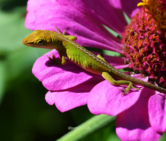 Green anole baby (justkim1106) Tags: nature flower zinnia animal wildlife texas montell uvaldecounty lizard greenanole reptile bokeh