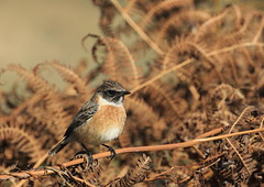Tarier Ptre (m-idre31 - 5 millions de vues merci) Tags: oiseau bird aves fougreaigle campuzan hautespyrnes tarierptre
