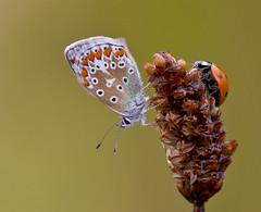 Common Blue and Ladybird, Polyommatus icarus , Coccinella Septempunctata (Ivan Lynas Nature Photography) Tags: